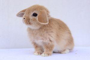 dvärgvädur kanin till salu